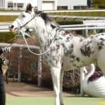 【競馬】ゲートに入るのが嫌すぎて…惜しくも引退したブチコ