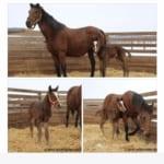 キタサンブラックがパパに!初仔となる鹿毛の牡馬19日に誕生