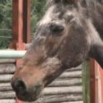 シャルロットが誕生日を迎え40歳に!長寿記録更新中【競走馬アローハマキヨ】