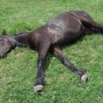 野生を忘れて爆睡する馬を眺めるだけの記事