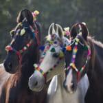 インド王族の愛馬で軍馬・マルワリ馬がめっちゃかわいい!馬耳くるりん
