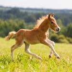 生まれたての仔馬の蹄はプルンプルン